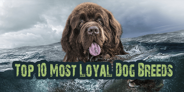 Loyal Dog Breeds