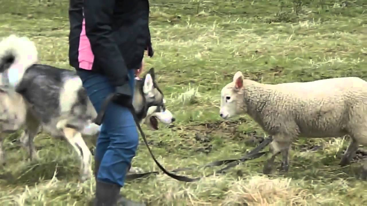 When Husky & lamb Start Playing, Be Sure Your Day Starts To Gets Better