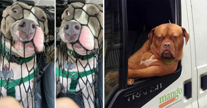 Hilarious Photos Of Dogs While Riding In Cars