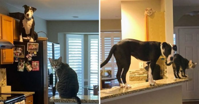 Rescue Pit Bull Thinks He's A Cat