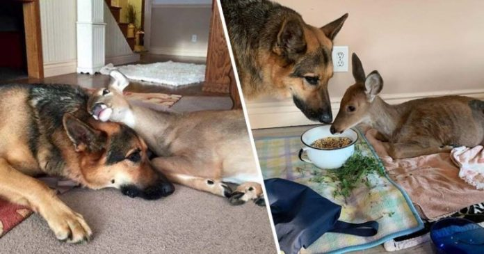 German Shepherd Dog Cares For Orphaned And Injured Fawns