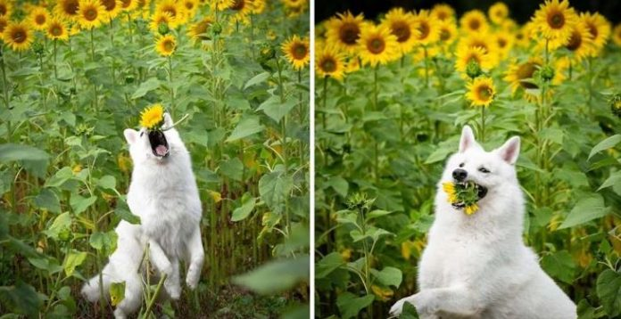 Dogs With Sunflowers