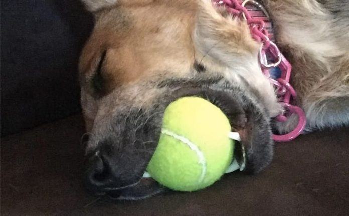 Dogs Asleep With Their Toy In Their Mouth