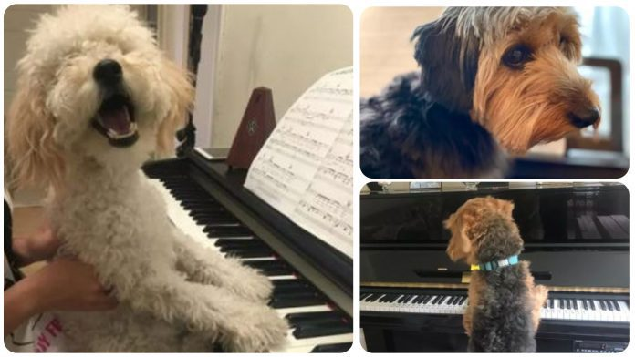 15 Dogs Playing Piano to Brighten Your Week