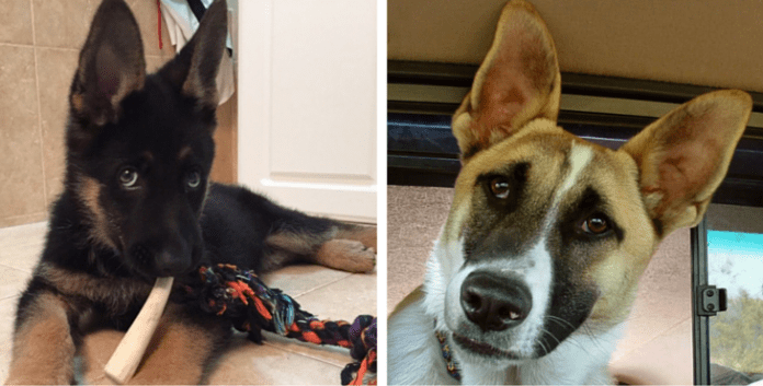 10 Astonishing Facts About German Shepherds That Will Leave You In Awe