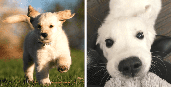 10 Pictures Of The Cutest Golden Retriever Puppies That Will Make Your Heart Melt