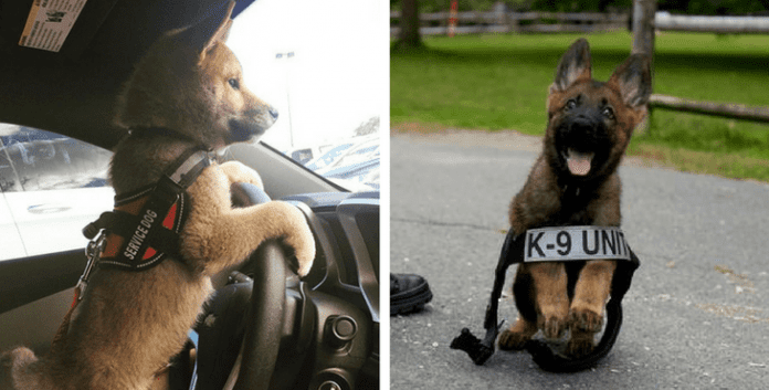 12 Adorable Puppies Who Are Super Excited For Their First Day Of Work