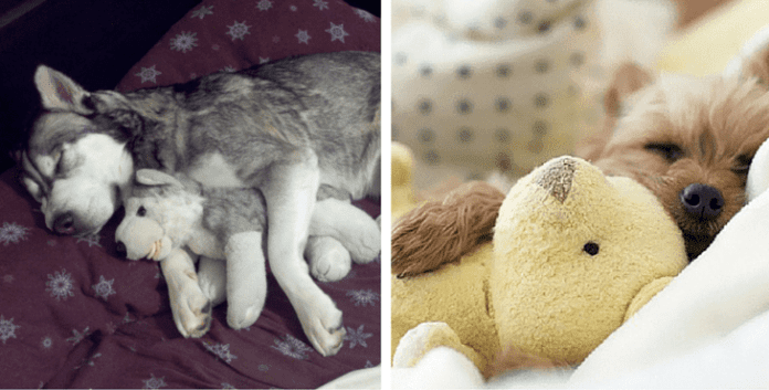 12 Dogs Who Can't Get To Sleep Without Their Favourite Cuddly Toys