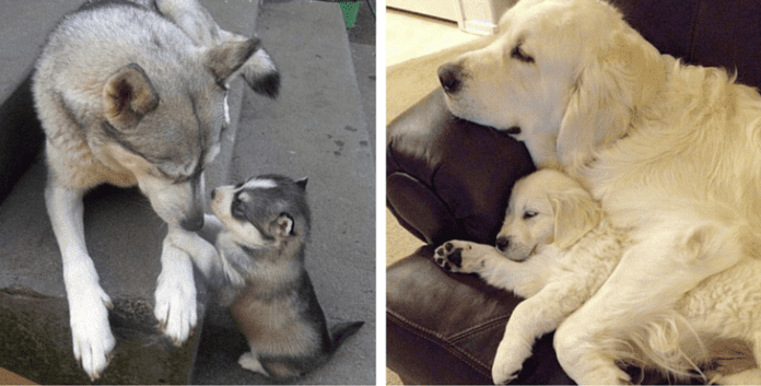 12 Puppies Who Are Totally Devoted To Their Pawfect Parents
