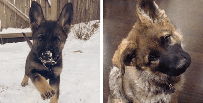 13 Times German Shepherd Puppies Proved They're The Best
