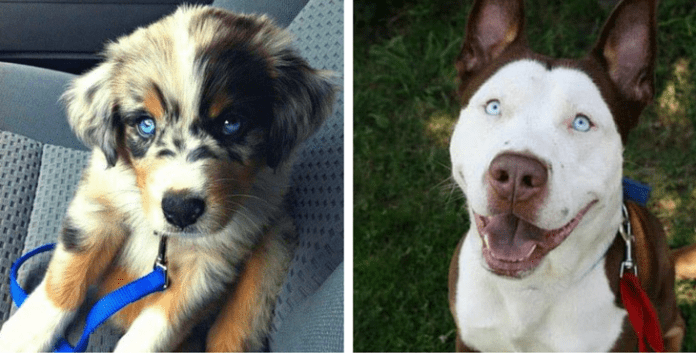 Duskies, Chuskies, Pomskies: Here are 12 Crazy Husky Mixes