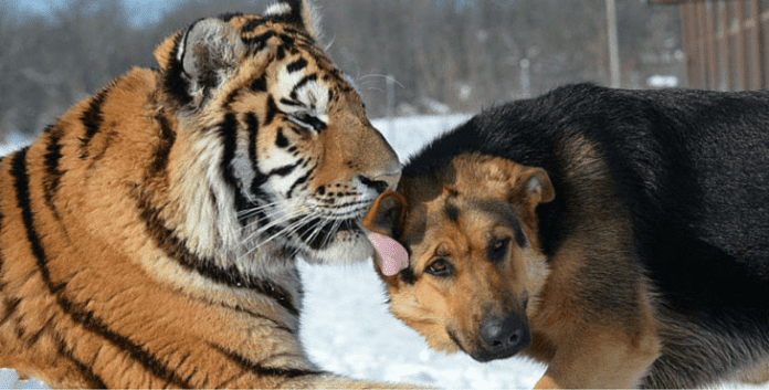 The Incredible Bond Between A Family Of Tigers And German Shepherds