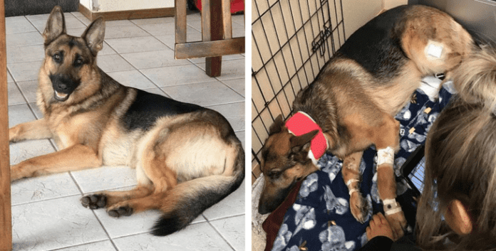 This German Shepherd Was Shot Three Times Trying To Protect His Owner From Burglars