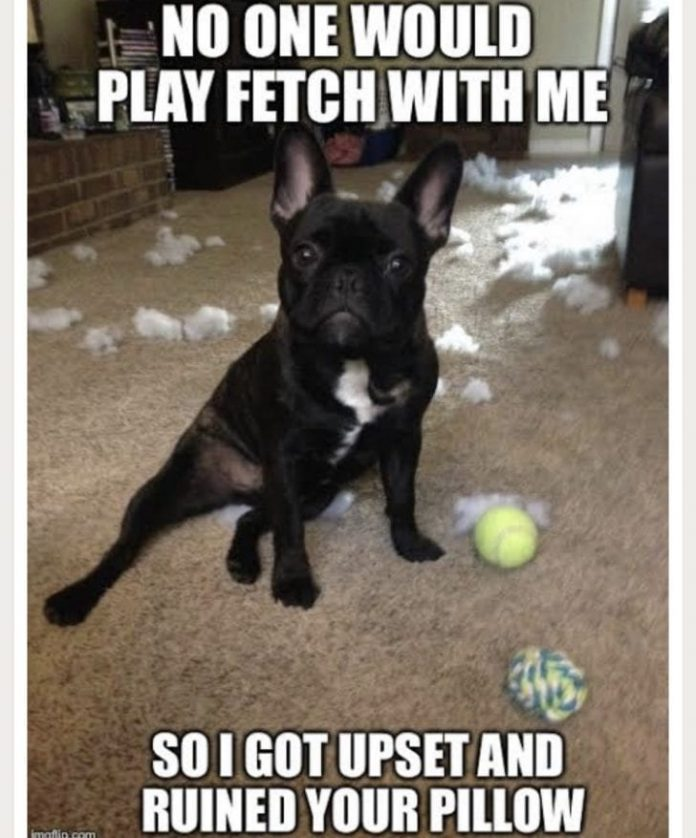 10 Best French Bulldog Memes That Will Make You Laugh