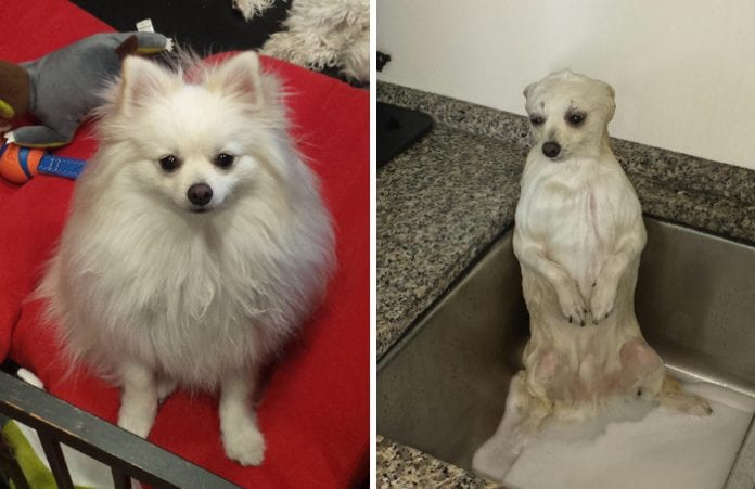 10 Funny Dog Pictures Before And After A Bath