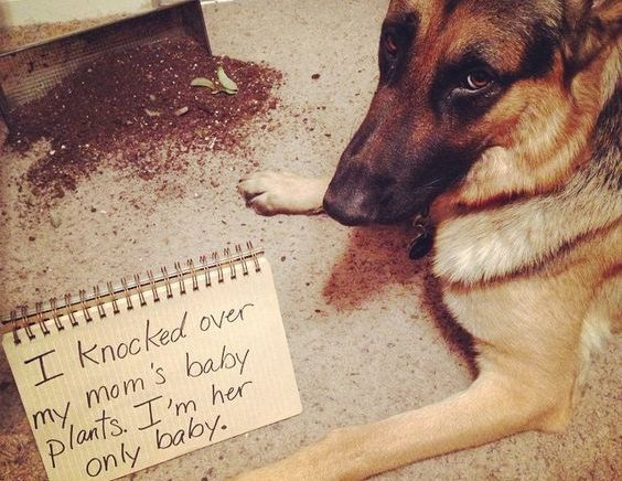 10 Naughty German Shepherds Who Didn't Expect You'd Be Home So Soon