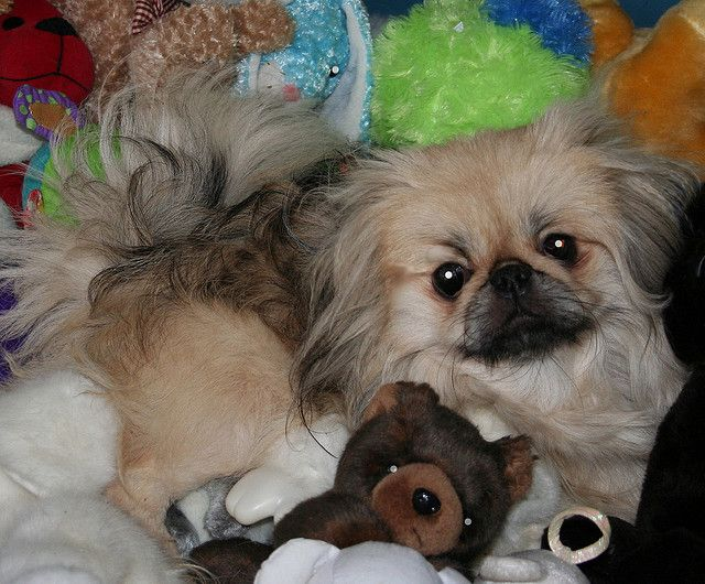 10 Professions Pekingeses Would Master If They Are Human Being