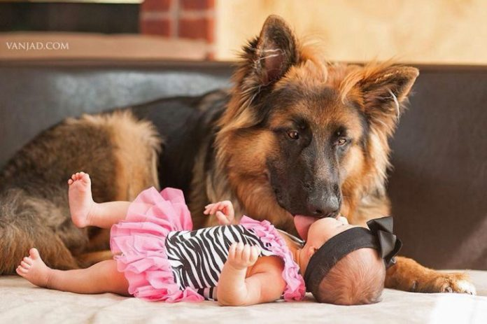 12 Reasons Why German Shepherds are The Best Babysitters