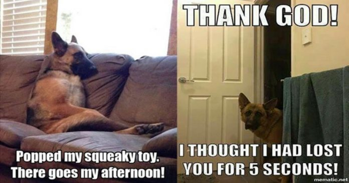 13 Funny German Shepherd Pictures That Will Make You Smile