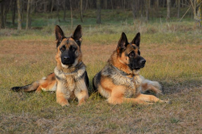 13 Proofs That German Shepherd is the Best Guard Dog