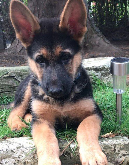 13 Tips For Raising a German Shepherd Puppy At Home