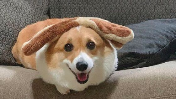 21 Reasons Why You Should Never Own Corgis