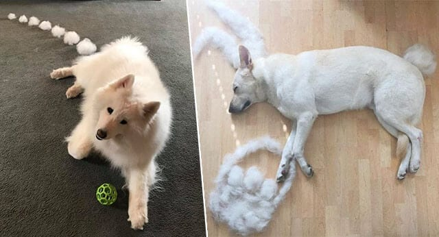 8 Hilarious Pictures Of Shedding Dogs