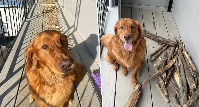 Golden Retriever Is Very Proud Of His Stick Collection