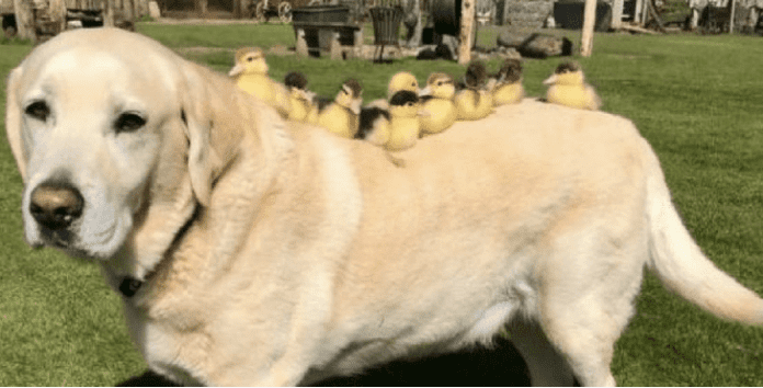Old Dog Adopts Nine Orphaned Ducklings And Never Leaves Them For A Second