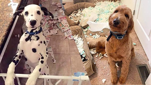 8 Hilarious Pictures of Dogs About Their Destructive Power