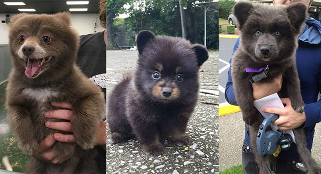 9 Super Cute Pictures of Chubby Puppies That Look Like Teddy Bears