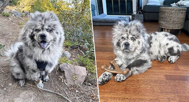 Meet Chow Chow With The Beauty Of An Angel
