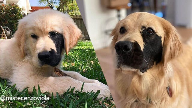 This Golden Retriever Has a Rare Beauty With a Very Special Half-Face Black Fur Mask
