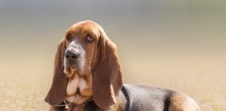 Top 10 Dog Breeds With Floppy Ears