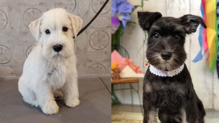 Facts About Miniature Schnauzer Dog Breed