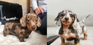 Where to Adopt Dachshunds Puppies
