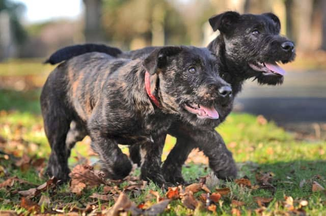 Rottweiler and Westie have cute puppies after marrige