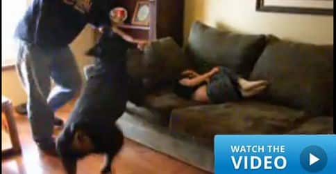 Rottweiler stops child abuse