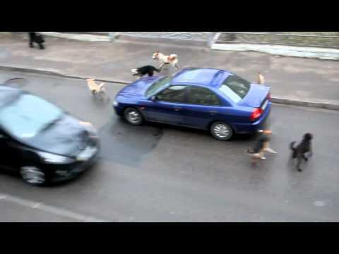 Dogs attack