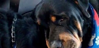 Rottweiler Crying
