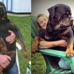 rottweilers love