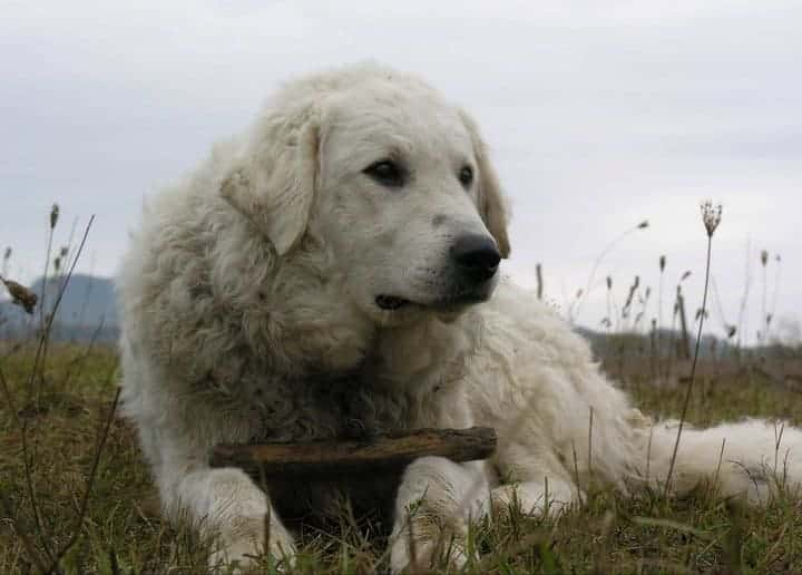 Best Dog Breeds For Protection