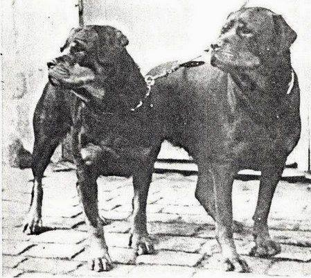 Rottweiler Old Historic Photographs