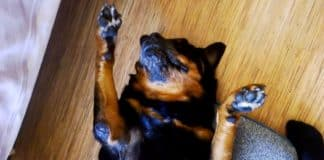 Rottweiler fake his owner