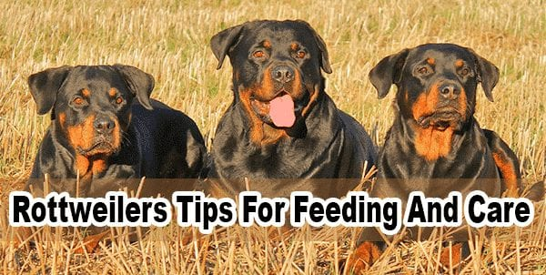 Rottweilers Tips