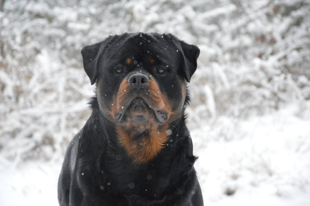 Rottweilers are The Best Guardians for You and Your Family