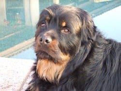 long hair Adult rottweiler