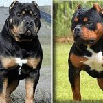 Rottweiler Mix With Pitbull Pitweiler