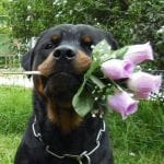rottweiler with flowers