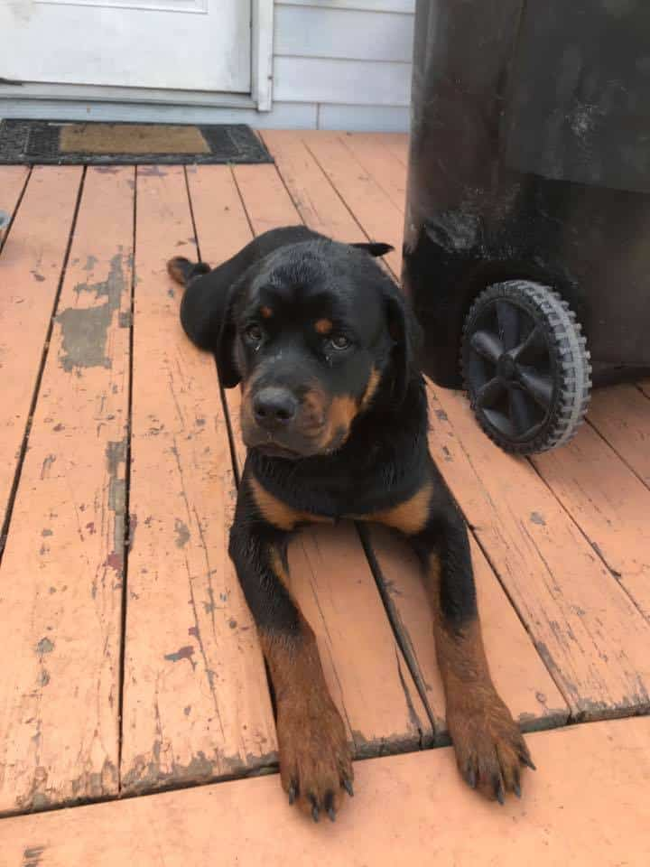 rottweiler puppy after rescue